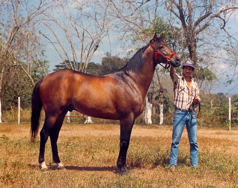 Iraquí Horses, en su rol de semental en el Haras Anamar, San Felipe, Venezuela. Foto: Gustavo Flamerich. Redacción: José Daniel Gil
